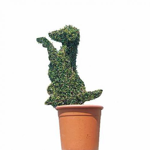 Topiary Dog Sitting (Ligustrum Jonandrum)