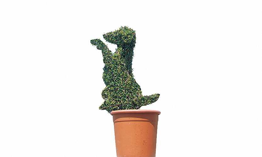 Topiary Dog Sitting (Ligustrum Jonandrum)
