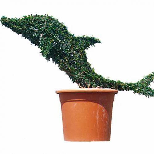 Topiary Dolphin Baby (Ligustrum Jonandrum)