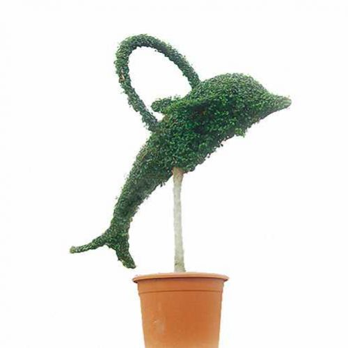 Topiary Dolphin With Circle (Ligustrum Jonandrum)