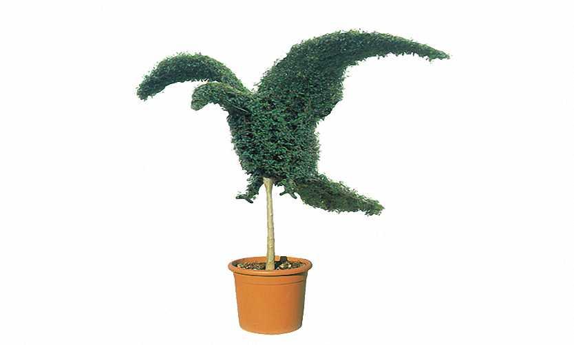 Topiary Eagle (Ligustrum Jonandrum)