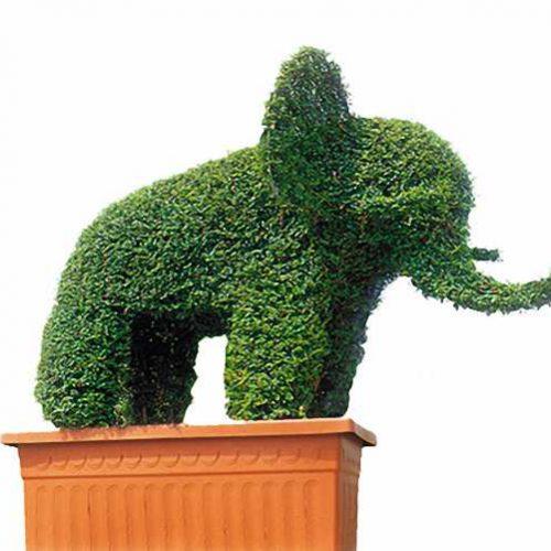 Topiary Elephant (Ligustrum Jonandrum)