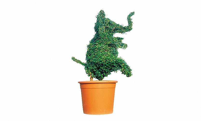 Topiary Elephant Sitting (Ligustrum Jonandrum)