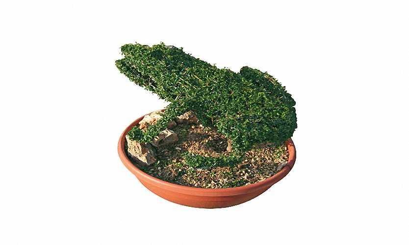 Topiary Frog (Ligustrum Jonandrum)