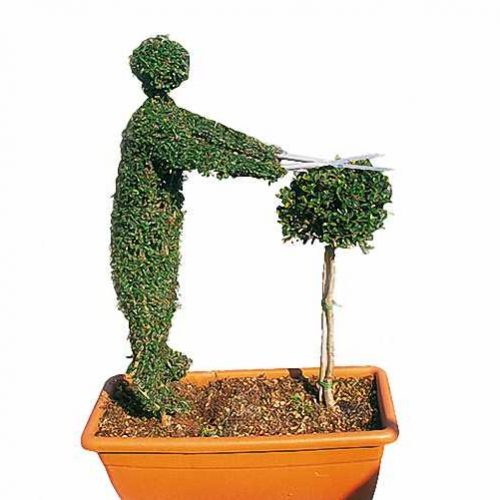 Topiary Gardener Trimming (Ligustrum Jonandrum)
