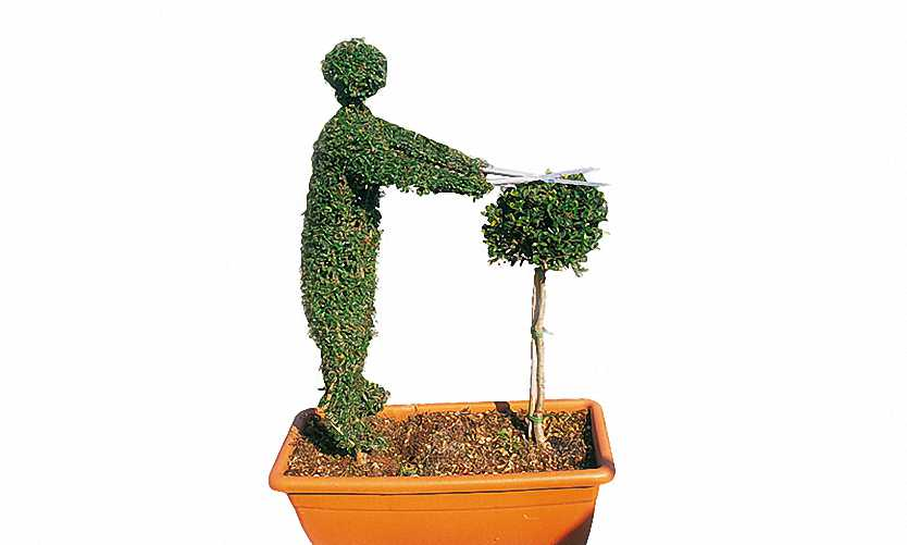 Topiary Gardener Trimming (Ligustrum Jonandrum)