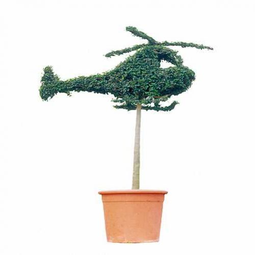 Topiary Helicopter (Ligustrum Jonandrum)
