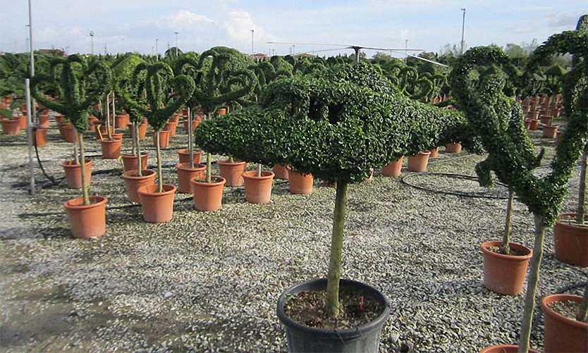 Topiary Helicopter (Ligustrum Jonandrum)