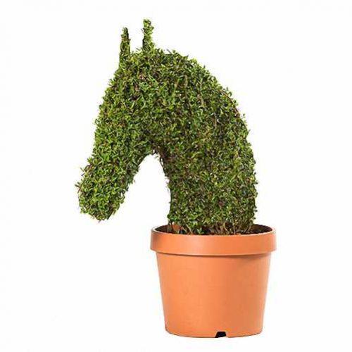 Horse Head (Ligustrum Jonandrum)