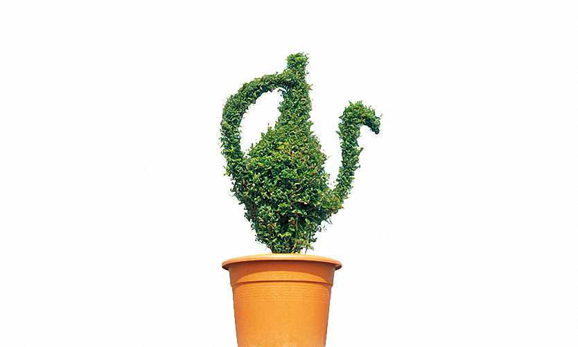 Topiary Jug (Ligustrum Jonandrum)
