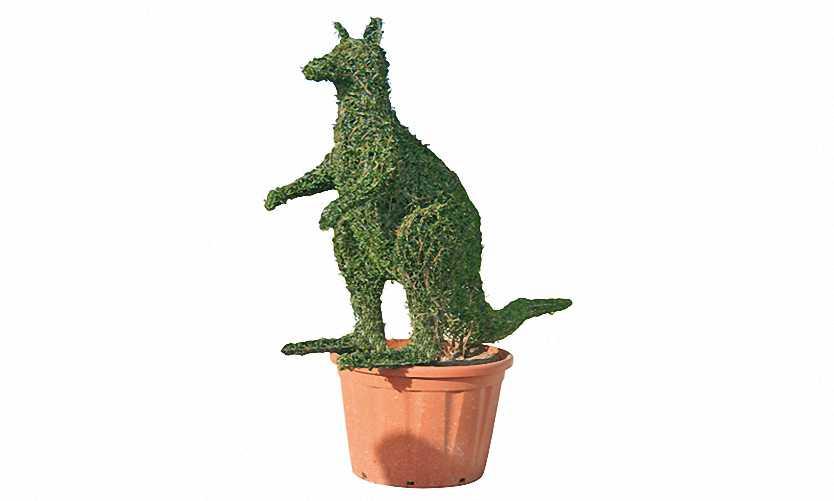 Topiary Kangaroo (Ligustrum Jonandrum)