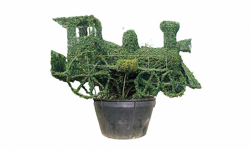 Topiary Steam Train (Ligustrum Jonandrum)