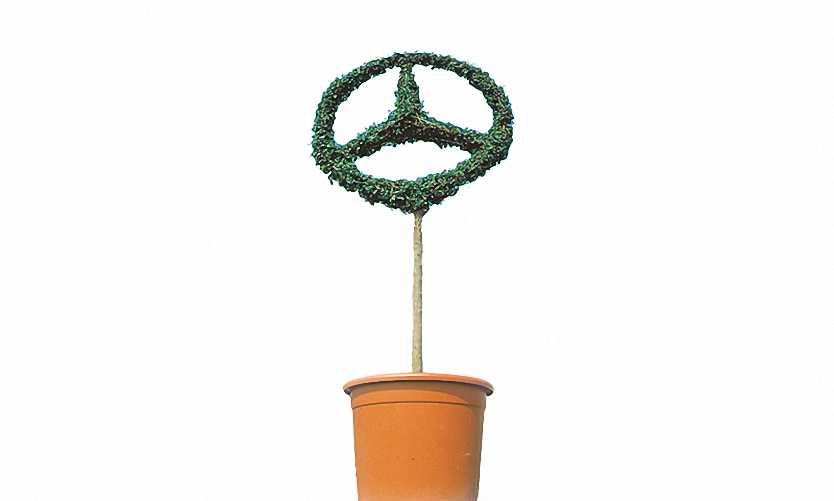 Mercedes Star Single (Ligustrum Jonandrum)