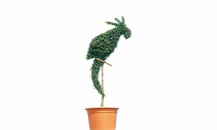 Topiary Parrot (Ligustrum Jonandrum)