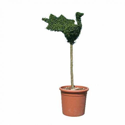 Topiary Peacock (Ligustrum Jonandrum)