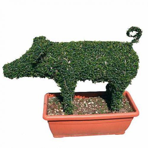 Pig (Ligustrum Jonandrum)