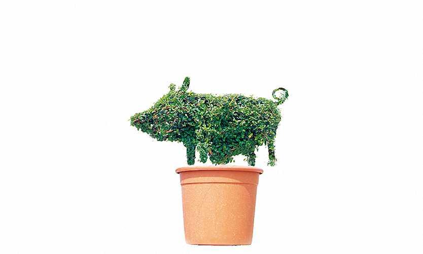 Topiary Piglet (Ligustrum Jonandrum)