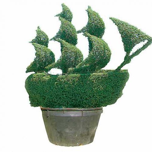 Topiary Tall Ship (Ligustrum Jonandrum)