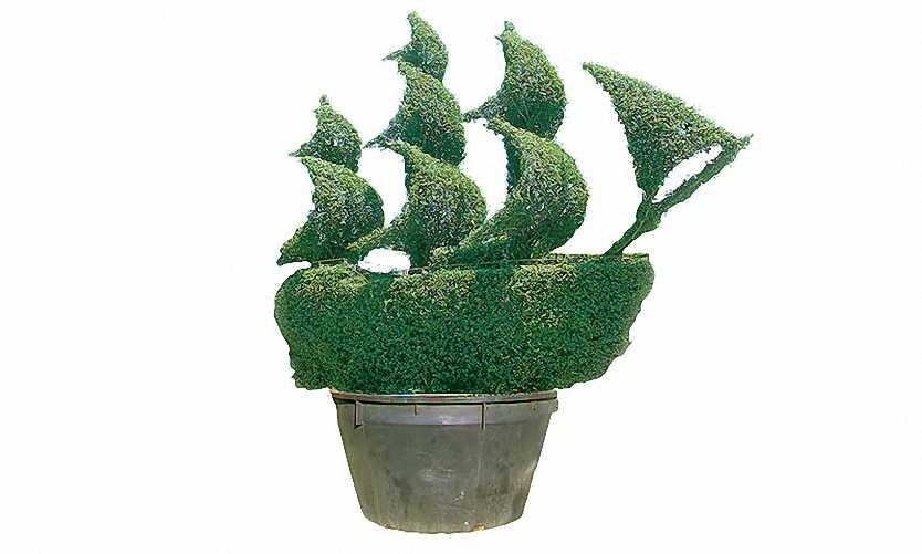 Topiary Tall Ship (Ligustrum Jonandrum)