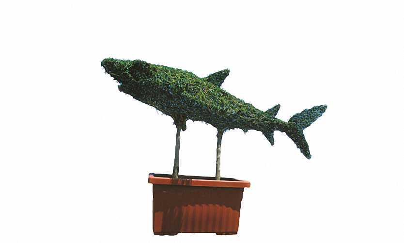 Shark (Ligustrum Jonandrum)
