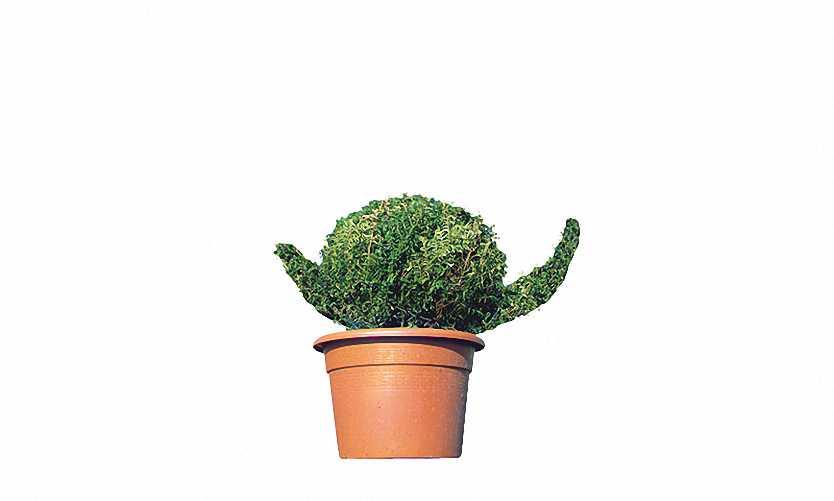 Topiary Snail (Ligustrum Jonandrum)