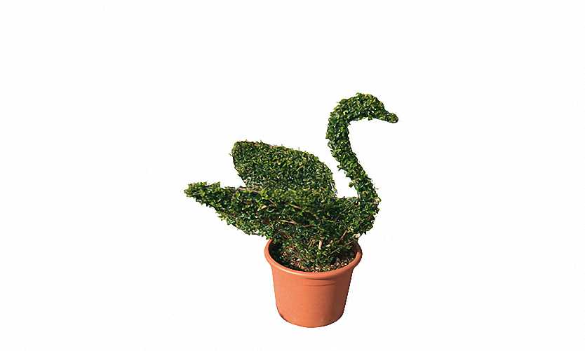 Topiary Swan (Ligustrum Jonandrum)