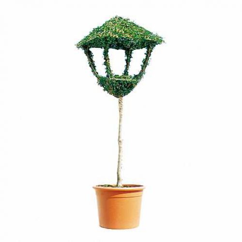 Topiary Lantern On Stem (Ligustrum Jonandrum)