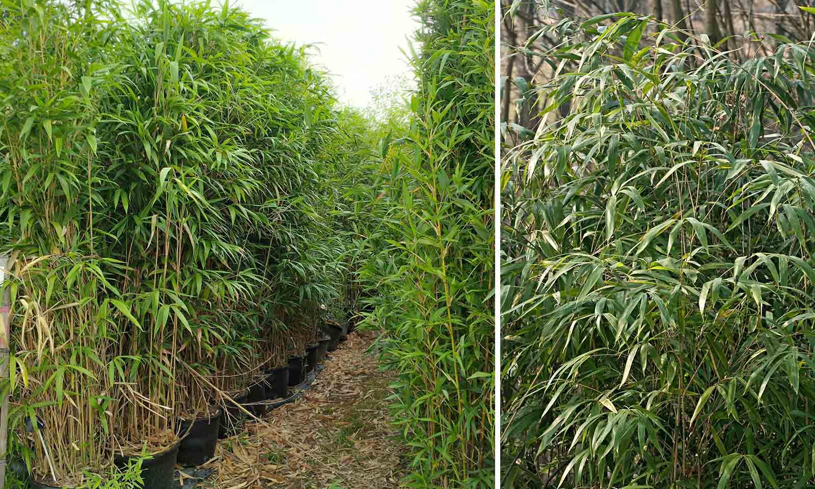 Bambusa Pseudosasa Japonica (Arrow Bamboo)