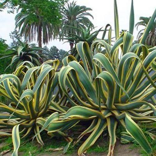 Agave Americana Variegata (Variegated Century Plant)