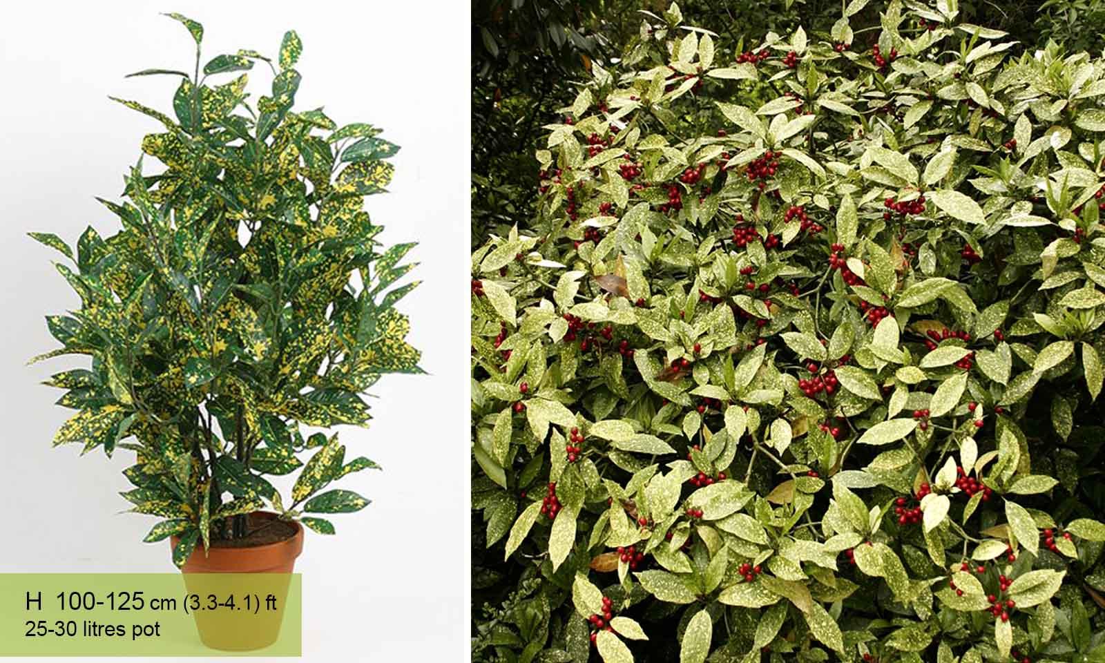 Aucuba Japonica Variegata Japanese Laurel 1 Sent in 9cm pots