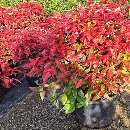 Nandina Domestica Fire Power (Heavenly Bamboo Fire Power) - Shrub