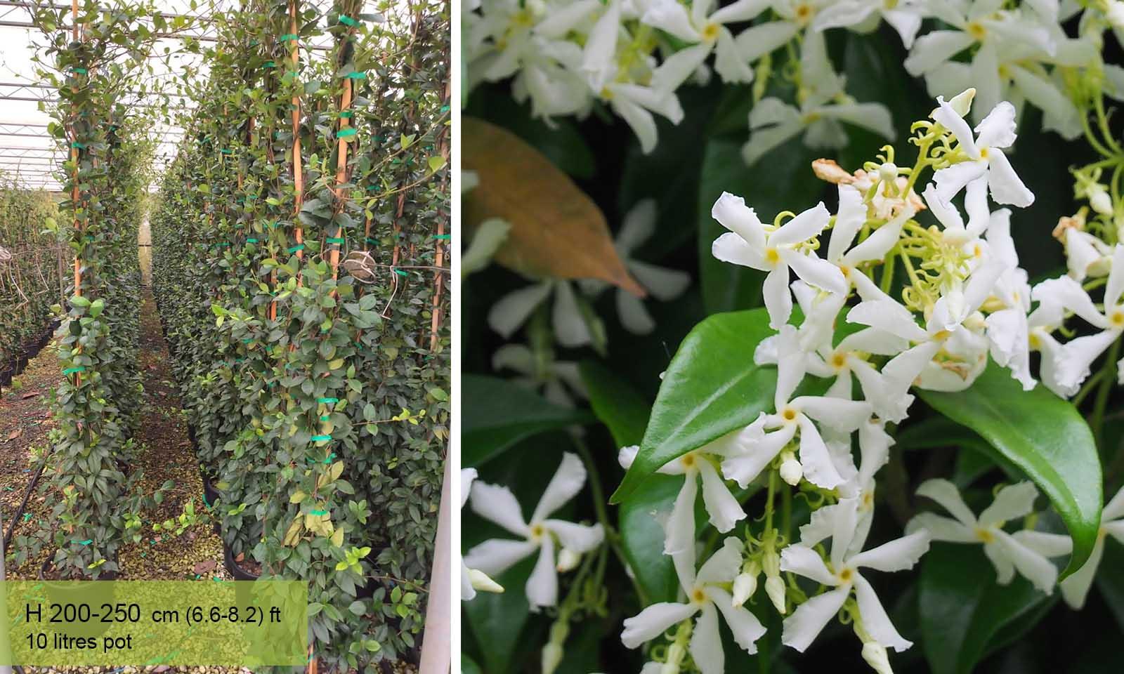 Rhyncospermum Jasminoides (Jasminum) – Climbing