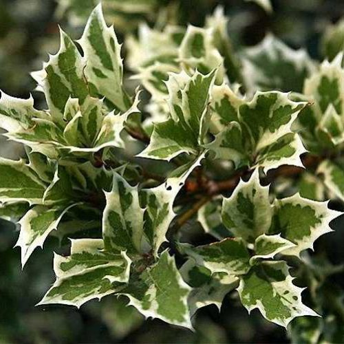 Osmanthus Heterophyllus Variegatus (Variegated Holly Olive) - Shrub