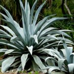 Agave Americana (Century Plant / Maguey / American Aloe)
