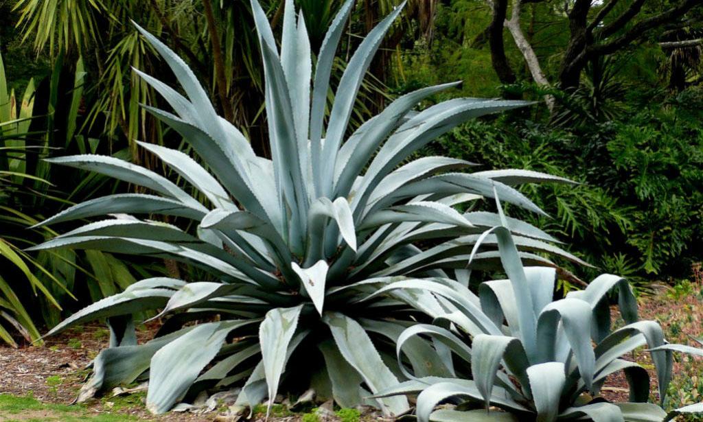 Agave Americana (Century Plant / Maguey / American Aloe)