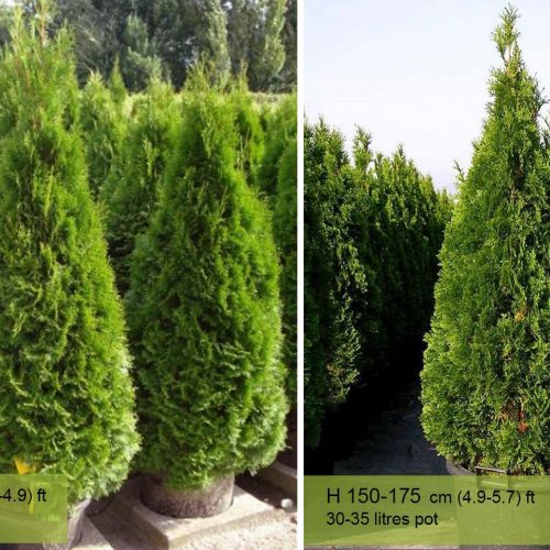 Thuja Occidentalis Smaragd — Shrub