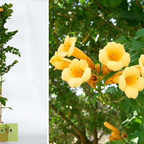 Campsis Radicans Yellow Trumpet (Flava / Trumpet Vine) - Climbing