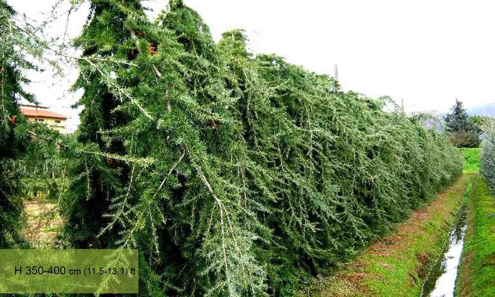Cedrus Deodara Pendula (Weeping Deodar Cedar)