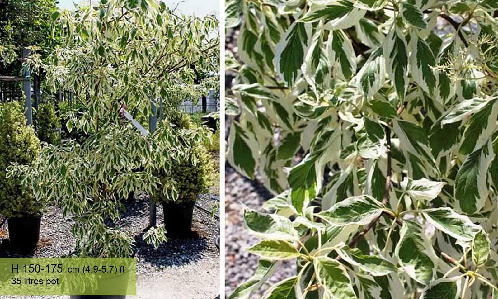 Cornus Controversa Variegata (Wedding Cake Tree)