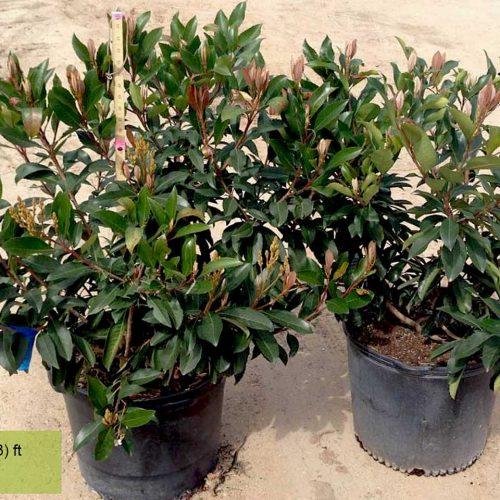 Eriobotrya Coppertone (Loquat Tree) - Shrub