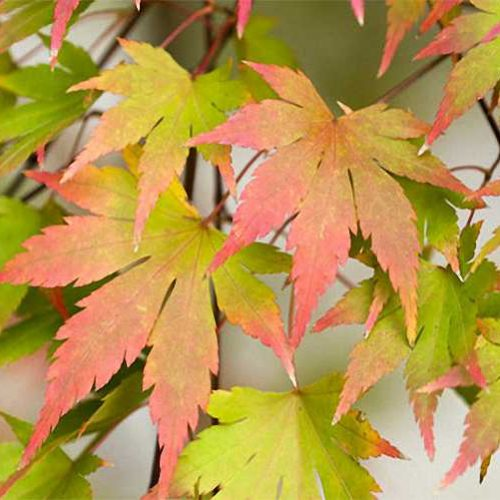 Acer Palmatum 'Sango Kaku' (Japanese Maple 'Sango Kaku' / Coral-Bark Maple) - Shrub
