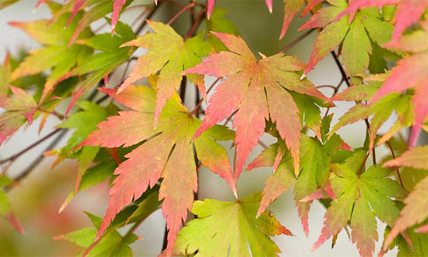 Acer Palmatum 'Sango Kaku' (Japanese Maple 'Sango Kaku' / Coral-Bark Maple) - Shrub
