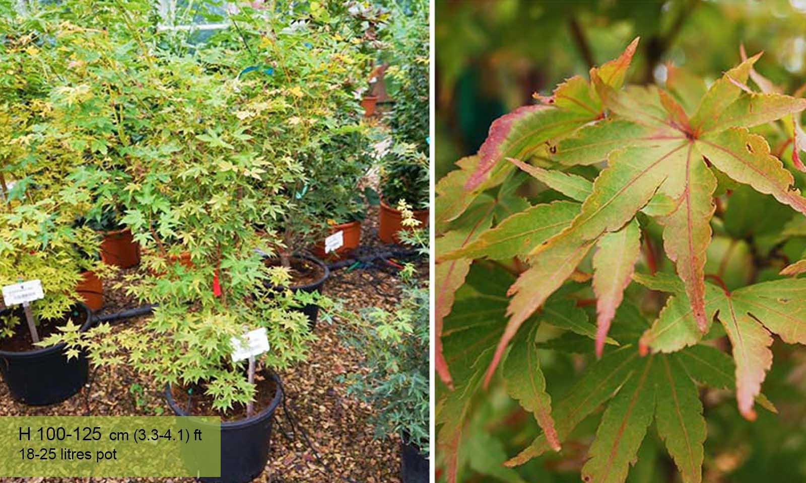 Acer Palmatum Sango Kaku - Shrub