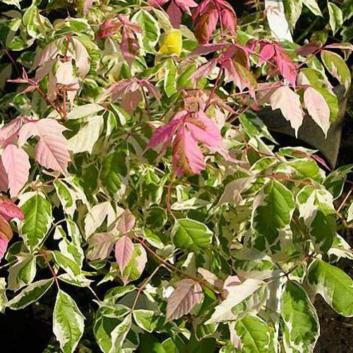 Acer Palmatum Blood Good Shrub Garden Plants Online