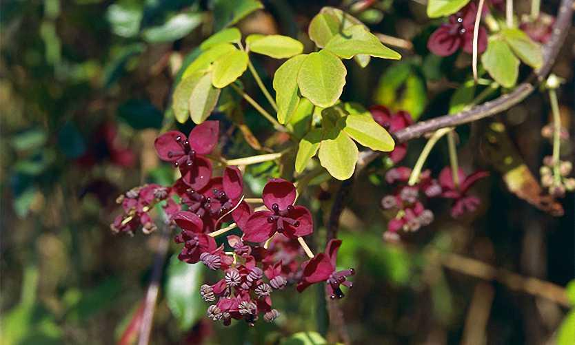 Akebia Quinata (Chocolate Vine / Five-leaf Akebia) - Climbing