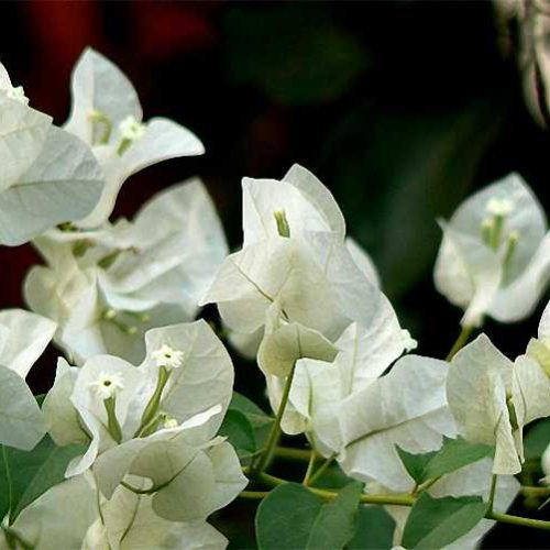 Bougainvillea x Buttiana 'Jamaica White' ('Audrey Grey' / 'Apple Blossom') - Climbing