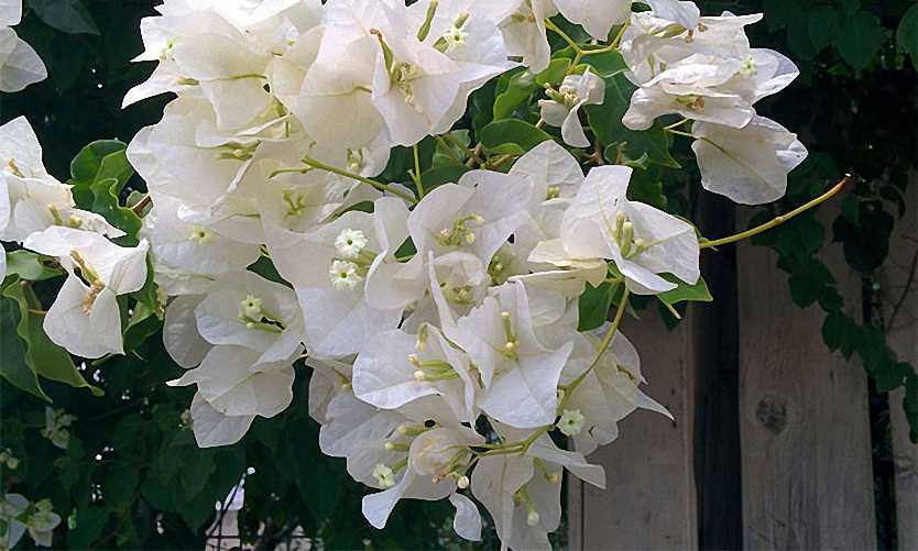 Bougainvillea Jamaica White