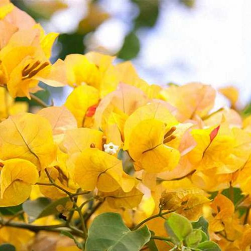Bougainvillea x Buttiana 'California Gold' ('Golden Glow' / 'Hawaiian Gold') - Climbing