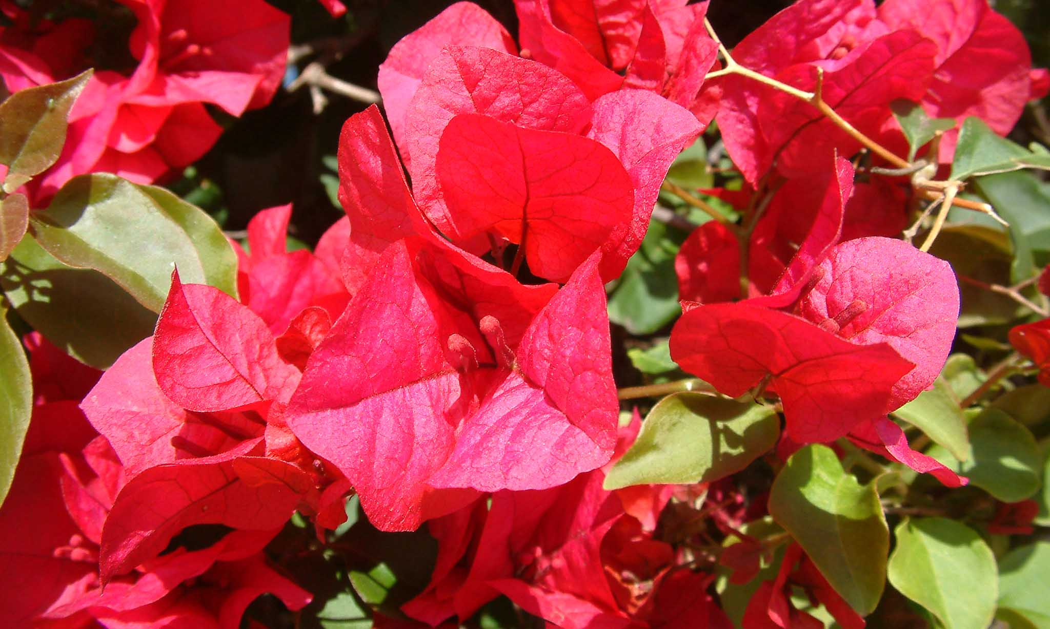 Bougainvillea Scarlet O'Hara