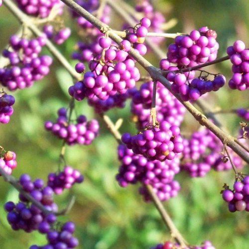 Callicarpa Bodinieri Profusion (Beautyberry)